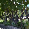 Виноград на территории отеля